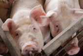 F.D.A. Restricts Antibiotics Use for Livestock
